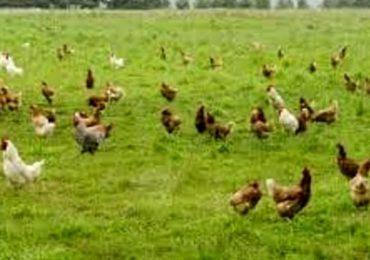 Ecco il pollo biologico 'Made in Capitanata'