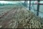 A San Severo si lavora per il pollo biologico